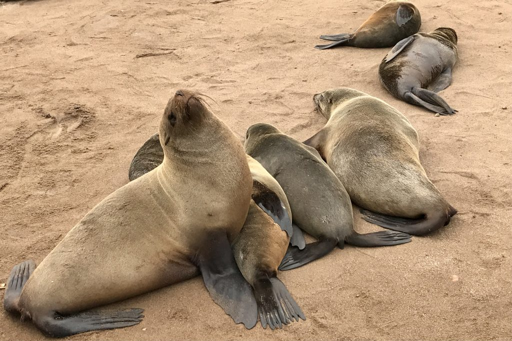 seals at the Cape Cross Seal colony on the skeleton coast in namibia