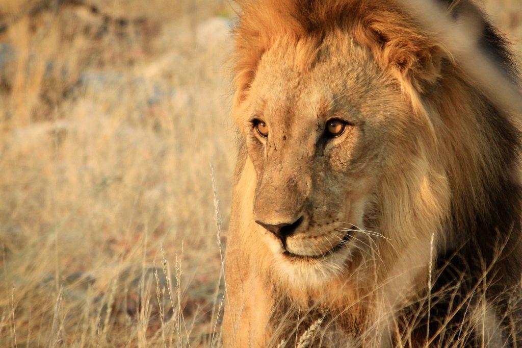 Male lion in etosha national park on safari in namibia