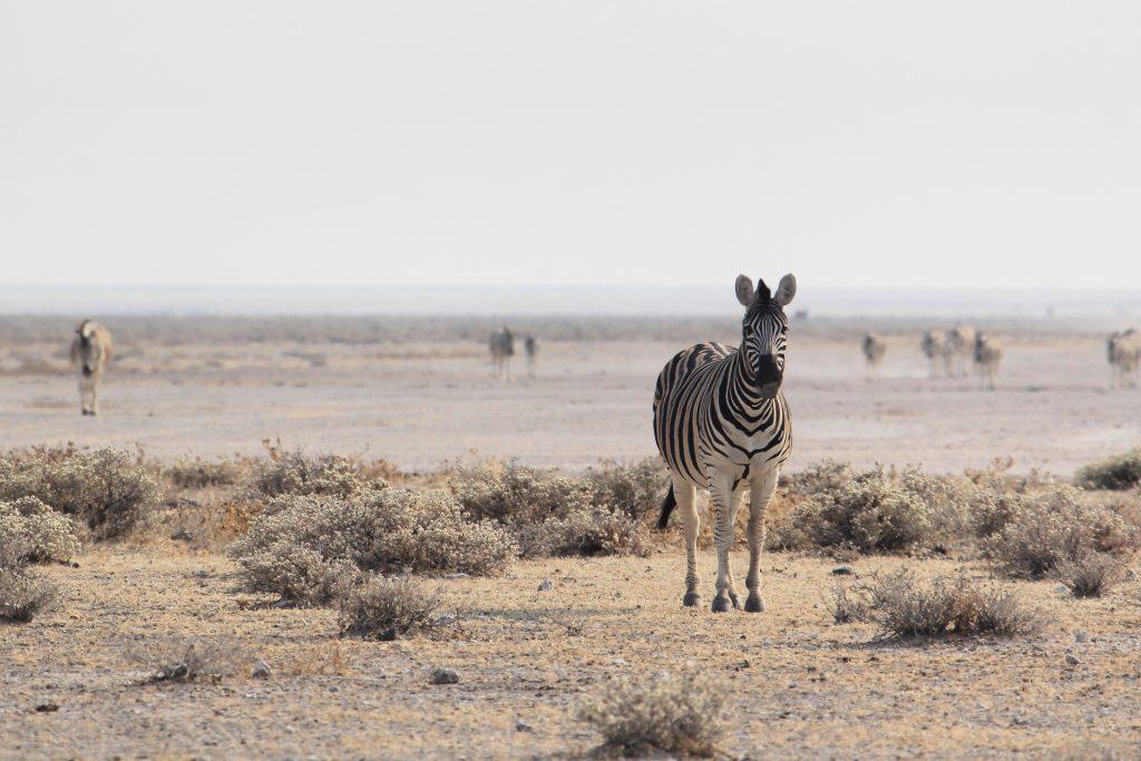 herd of zebras on the plains of etosha national park in namibia
