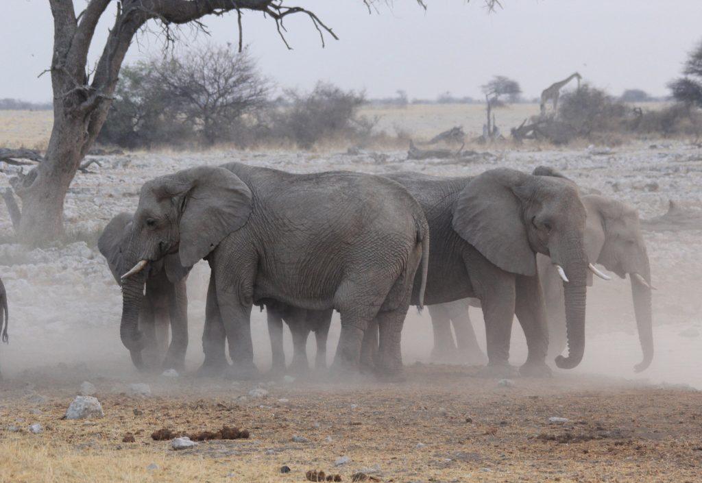 groups of elephants kicking up dust in etosha national park on safari in namibia