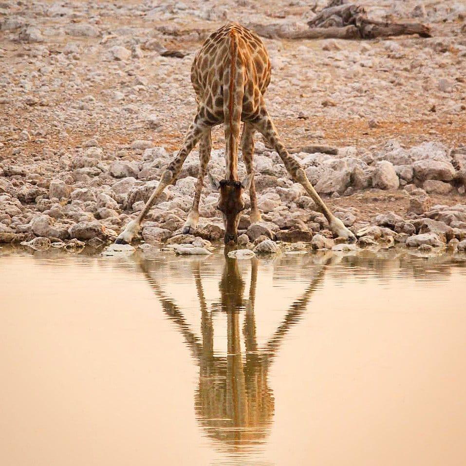 giraffe drinking at a water hole in etosha national park
