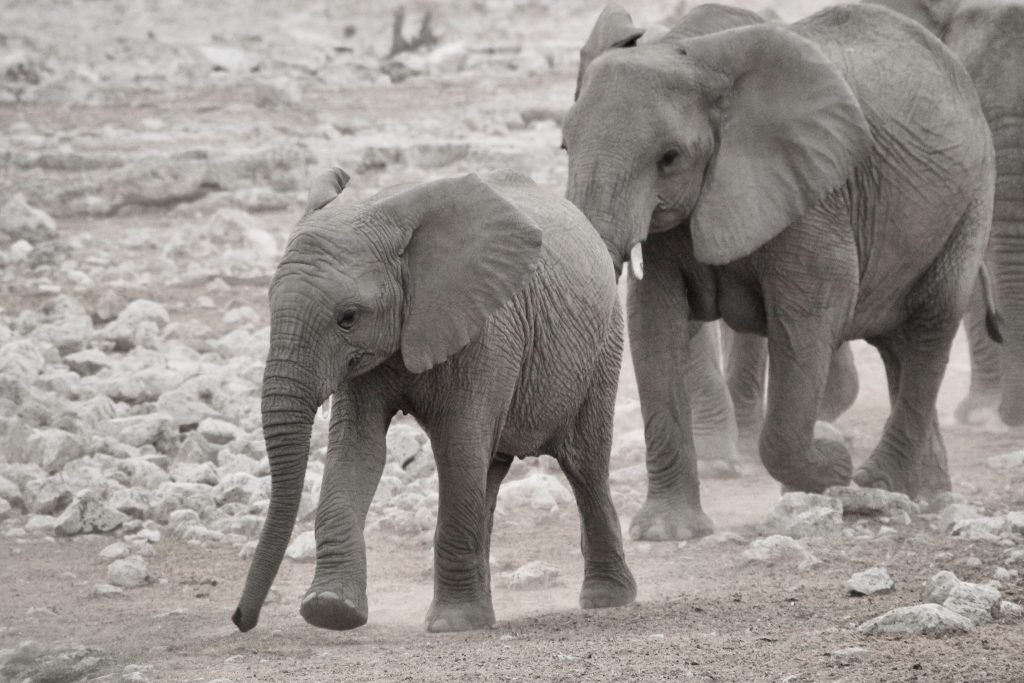 baby elephant and cow on the way to a water hole in Etosha national park in etosha