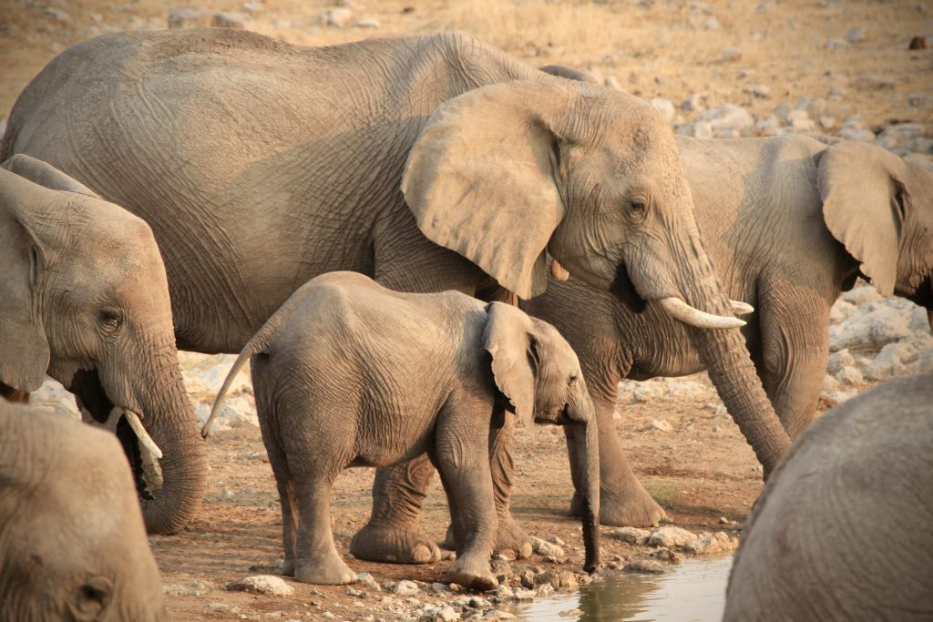 Elephant cow and baby at etosha national park in namibia
