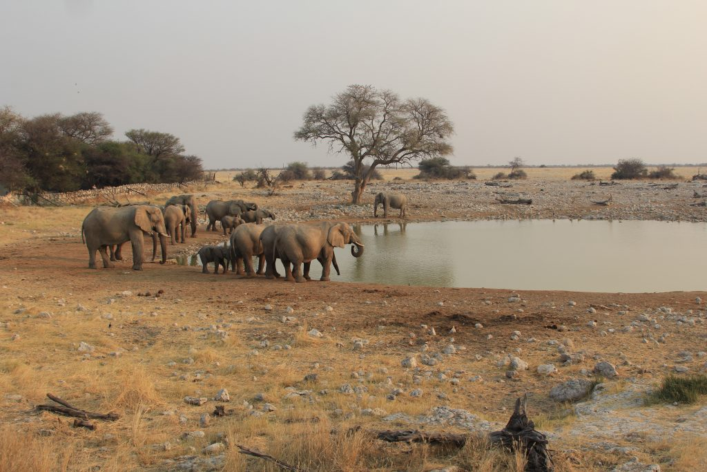 Elephants at the water hole at Okaukuejo camp in Etosha national park in namibia