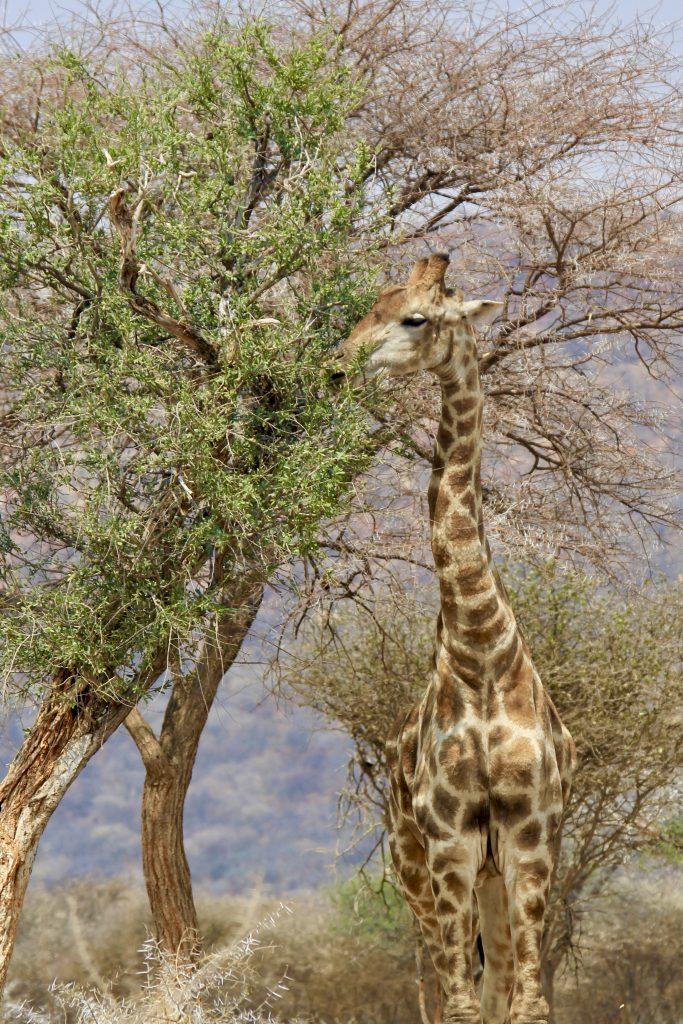 Giraffe eating from a tree in okonjima nature reserve in namibia