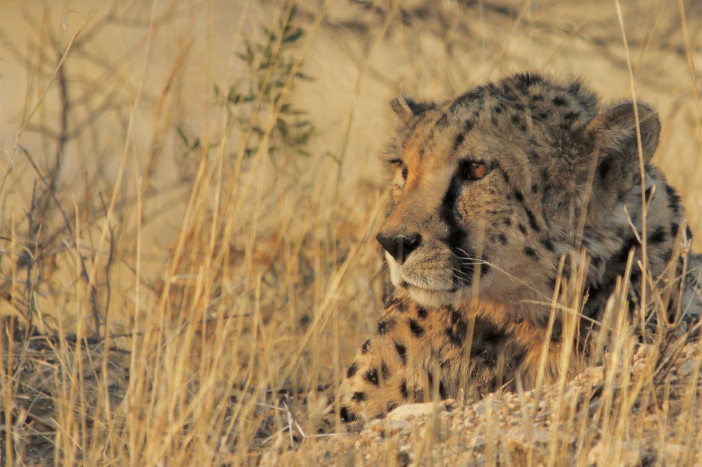 Cheetah in Okonjima nature reserve in namibia