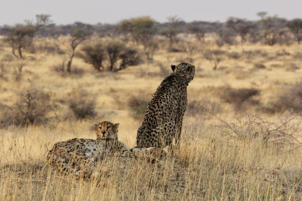 Cheetah brothers in the savannah at Okonjima nature reserve