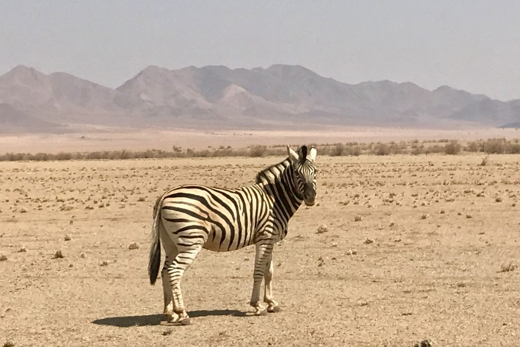 Zebra on the plains of the NamibRand nature reserve in namibia