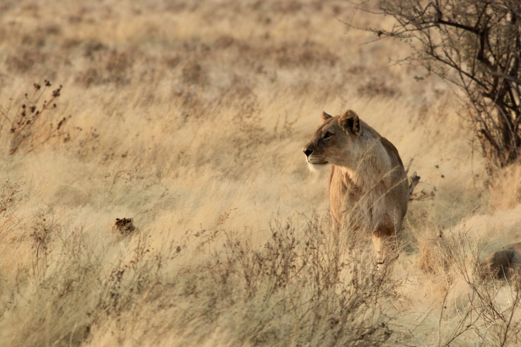 Lioness on alert in the grasses of etosha national park in namibia