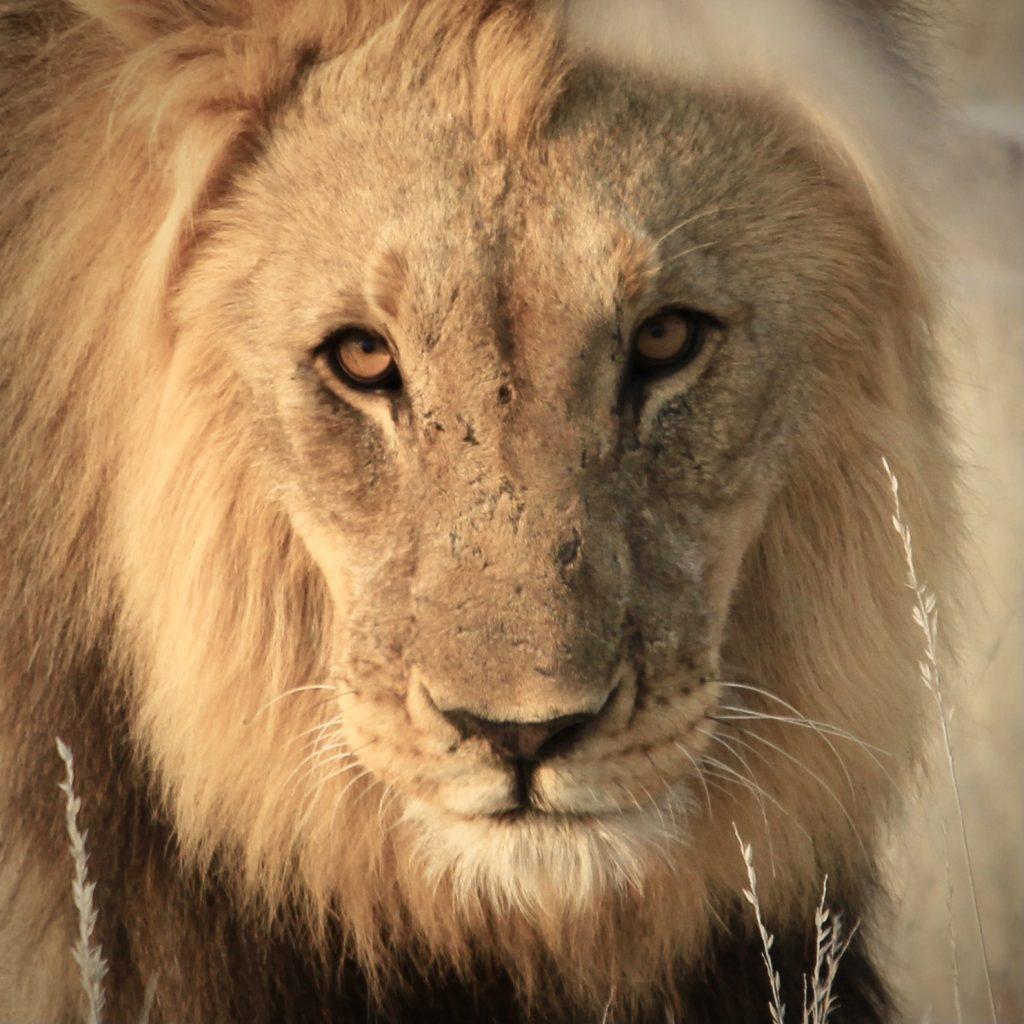 Male lion in Etosha National Park Namibia