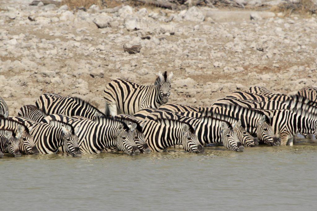 a dazzle of zebras in etosha national park in namibia