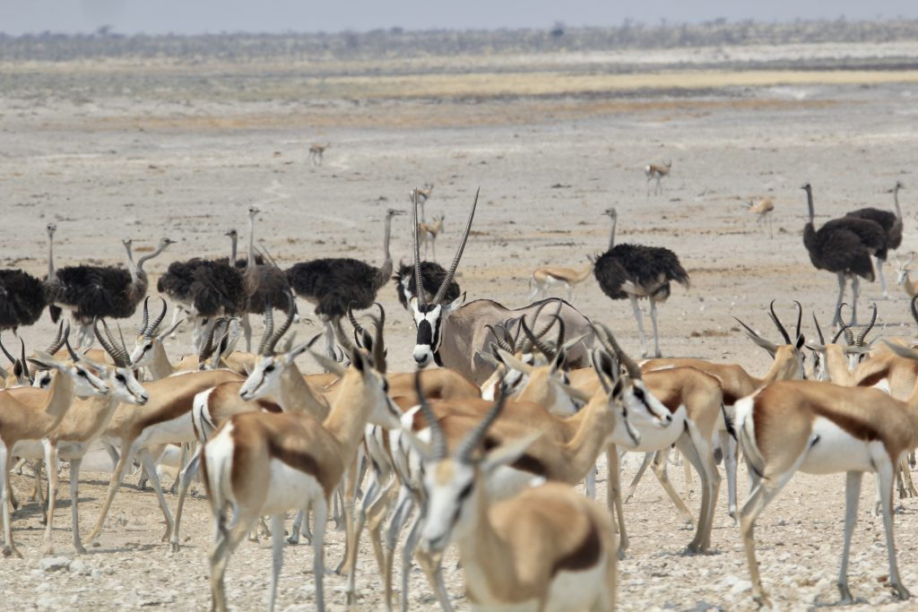 Oryx surrounded by impalas and ostriches seen on safari in Etosha National Park in namibia