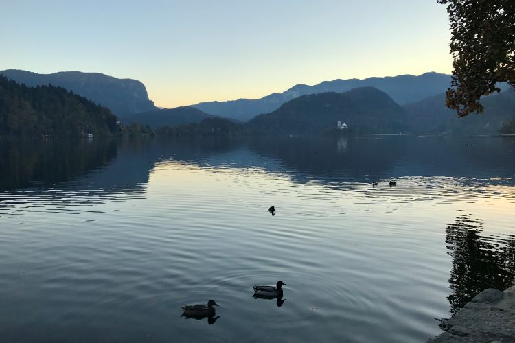 Ducks swimming on the smooth water of Lake bled at dusk